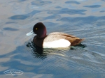 ruddy duck2